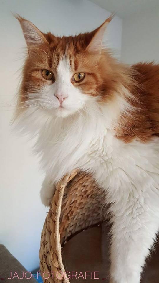 Mainecoon, katten, catlady.