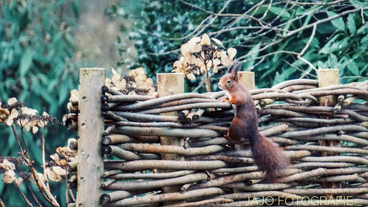 Maandoverzicht Januari, eekhoorn, knaagdier, natuur