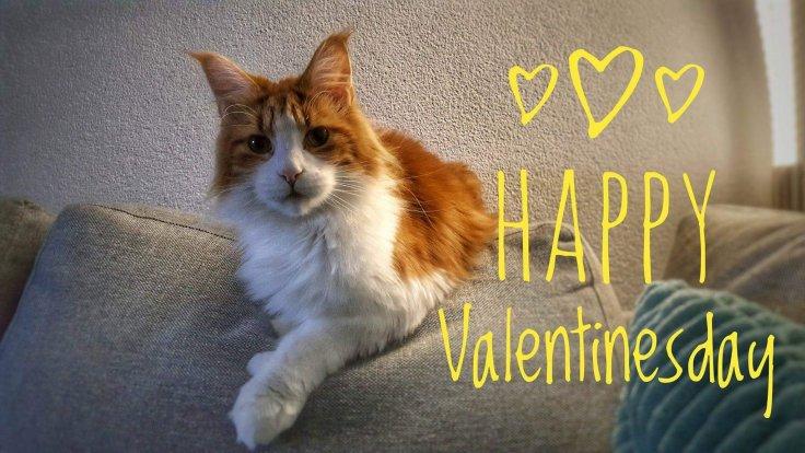 Love, Drenthe, Liefde, Katten, Mainecoon