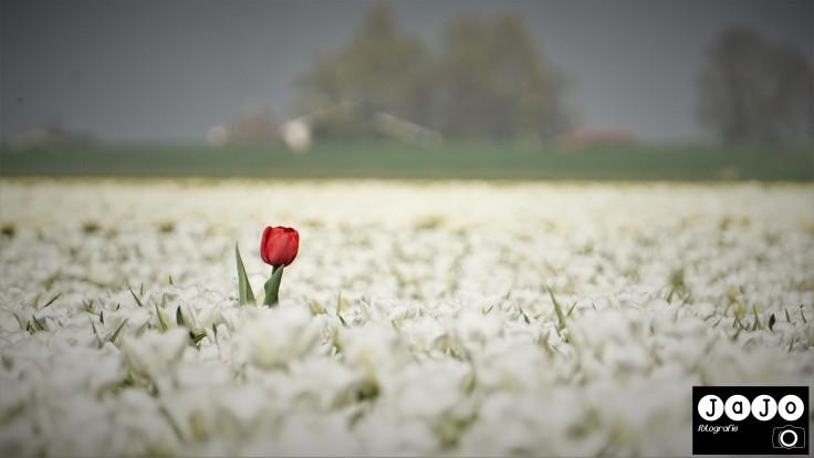 Tulpen, Noordoostpolder, Tulpenvelden, Route, TulpenFestival, Rood, Wit, Jajofotografie