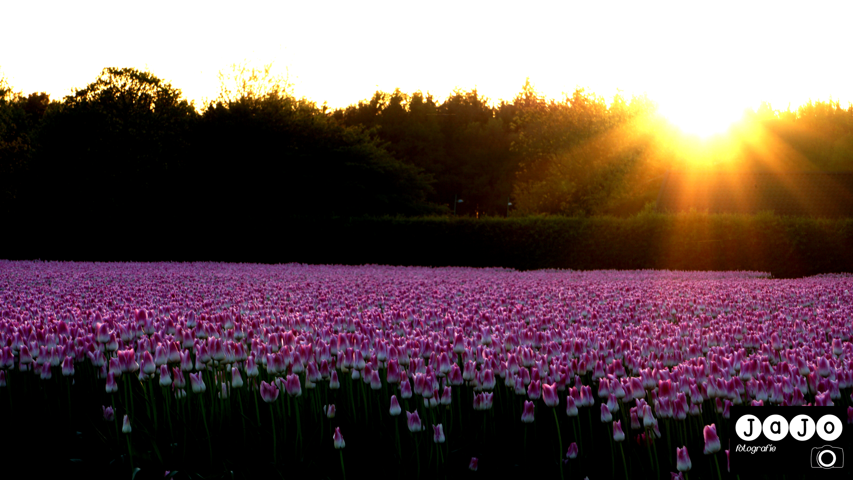 Tulpen, Royal Ten, Sunset, Zonsondergang, Drenthe, Tulpenvelden
