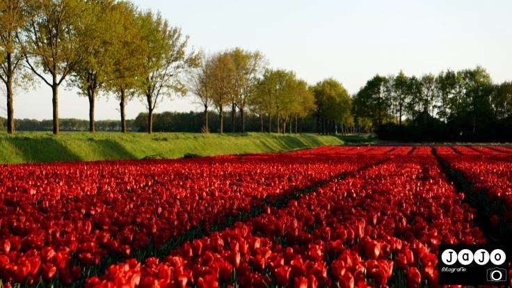 Tulpen, Tulpenvelden, Drenthe, Smilde, Rood, Red,