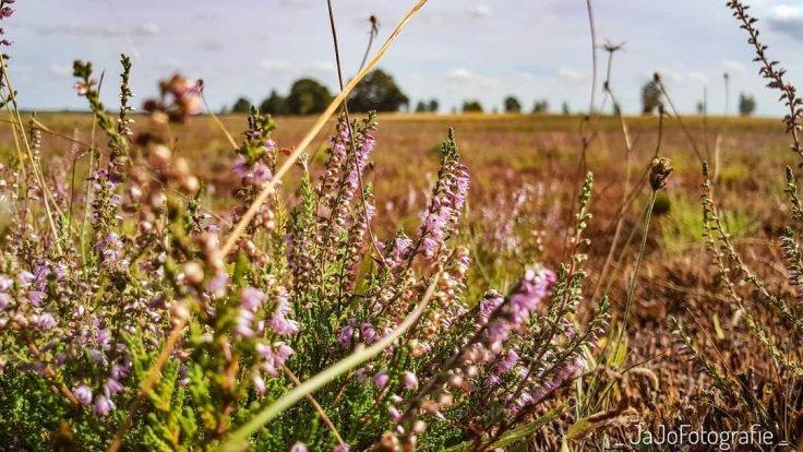 Droogte, Heide, Drenthe, bloei, Augustus