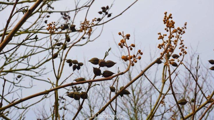 Arboretum Assen, Bomentuin, werelddeel Azië. Anna Paulownaboom, wandelroute Assen