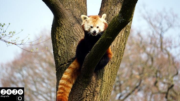 Dierentuin, Aken, Duitsland, Zuid Limburg, Limburg, Weekendje Zuid Limburg, Germany, Tierpark, Kleine Panda, Rode Panda, Katbeer