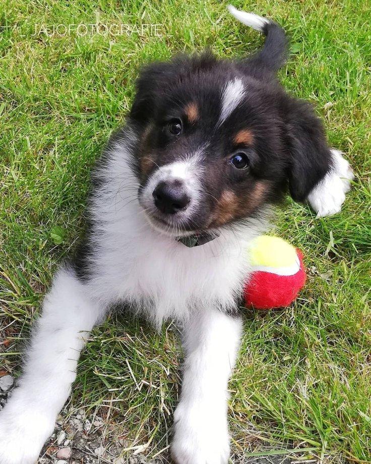 Mick, Australian Shepherd, Aussie, Hond, Puppy, Hondje