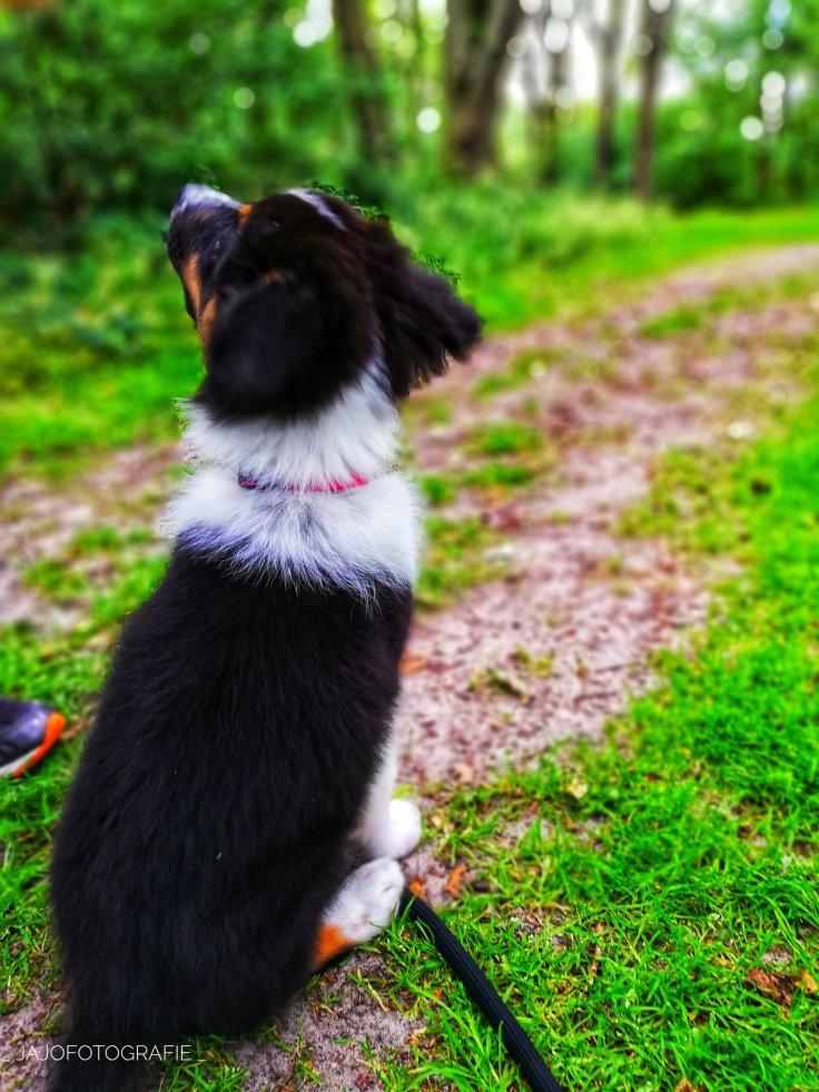 Mick, Australian Shepherd, puppy, puppy love, Hond, hond opvoeden,  Puppytraining,