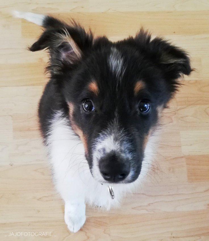 Australian Shepherd, Australische herder, puppy, hond, dog,  Puppytraining, hondentrainen, honden oor,
