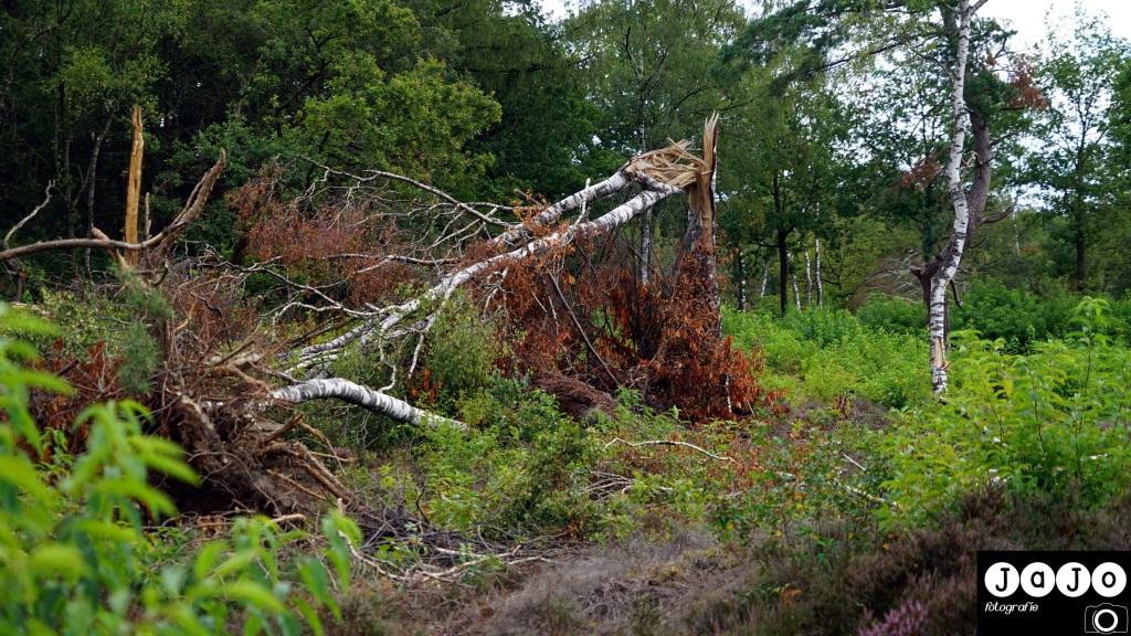 Stormschade in de bossen bij  norg. Puppy, Wandelen, Laarzenpad, Staatsbosbeheer, Drenthe, Norg, Natuur, Landschap, Vlinder, Flora en Fauna.
